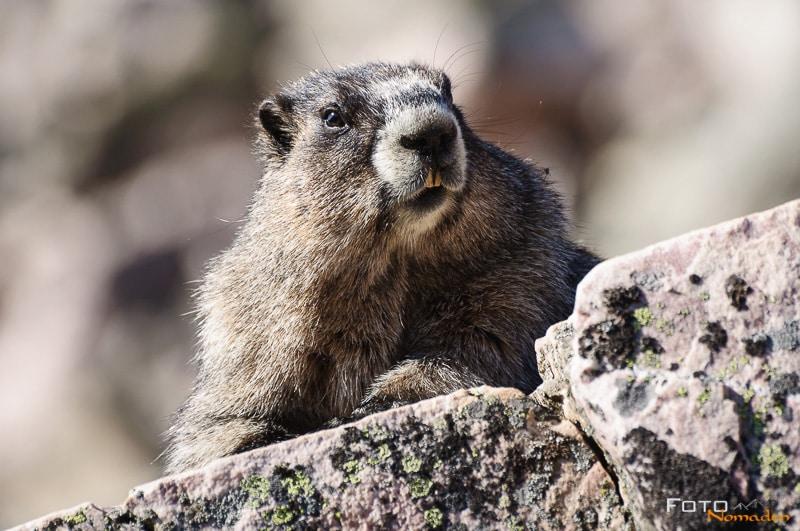 Fotonomaden Wildtierfotografie Kanada Murmeltier