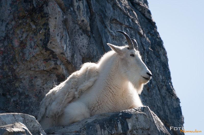 Fotonomaden Wildtierfotografie Kanada Schneeziege