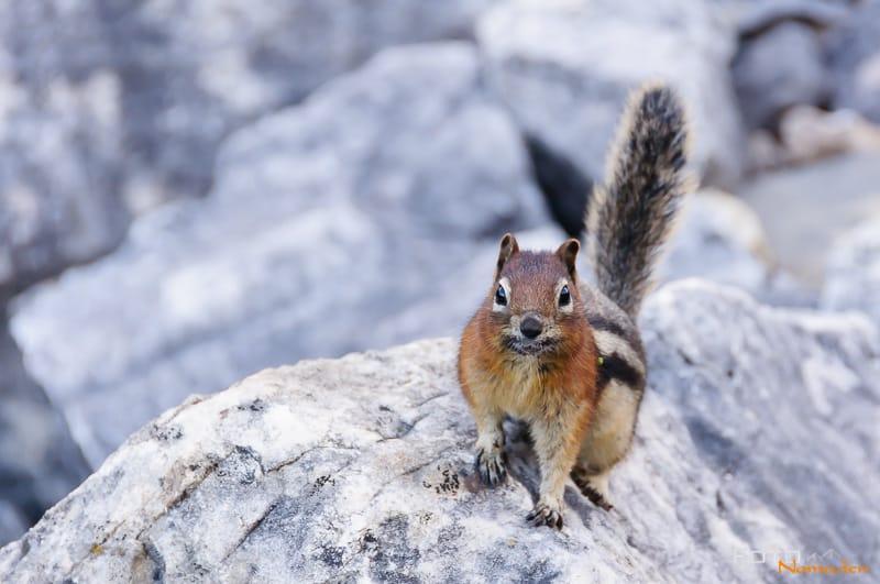 Fotonomaden Wildtierfotografie Kanada Golmantelziesel