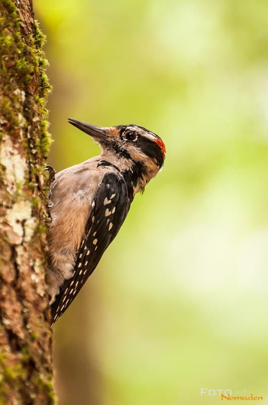 Fotonomaden Wildtierfotografie Kanada Buntspecht