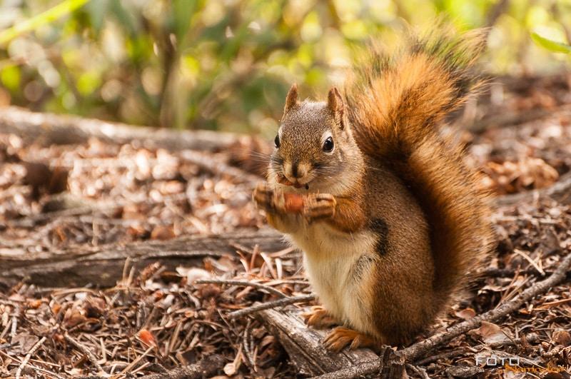 Fotonomaden Wildtierfotografie Kanada Eichhörnchen