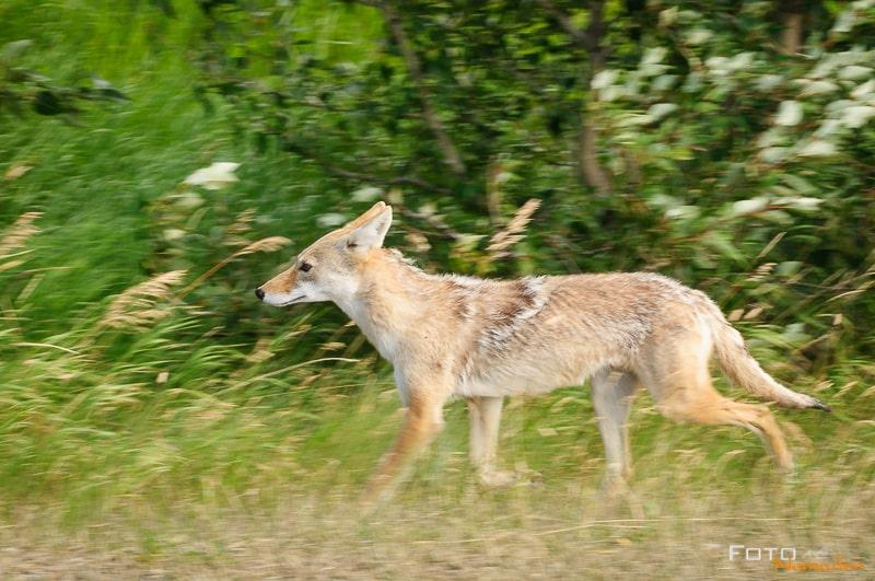 Fotonomaden Wildtierfotografie Kanada Kojote