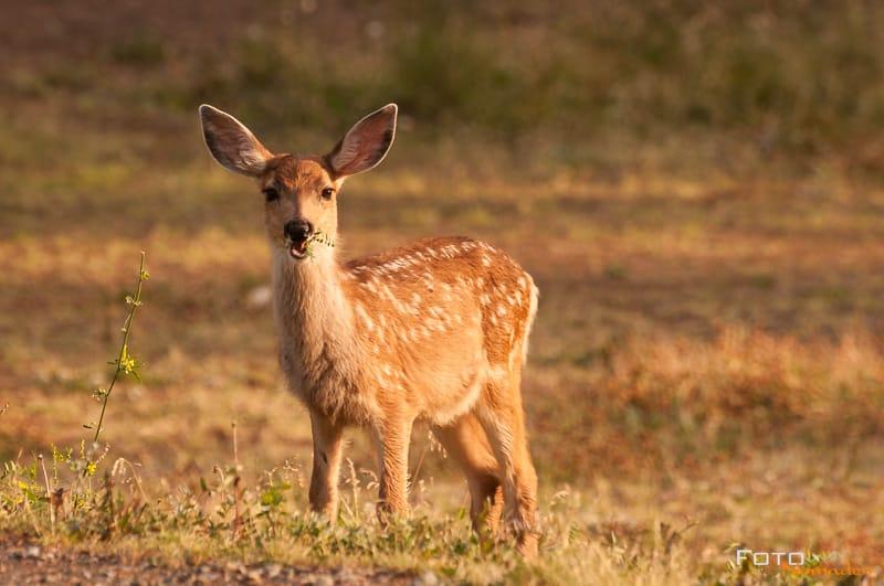 Fotonomaden Wildtierfotografie Kanada Reh