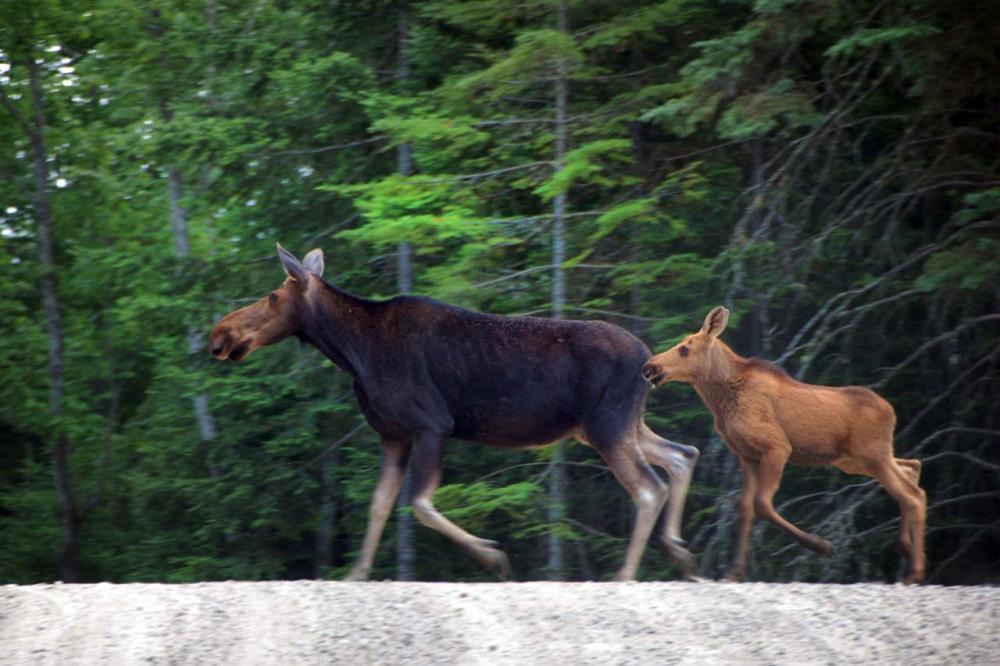 Moose around the World - Elche
