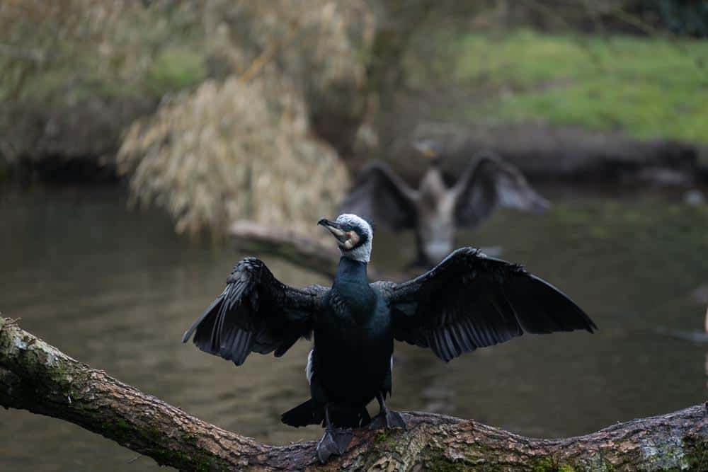 Weltvogelpark Walsrode Komoran Original