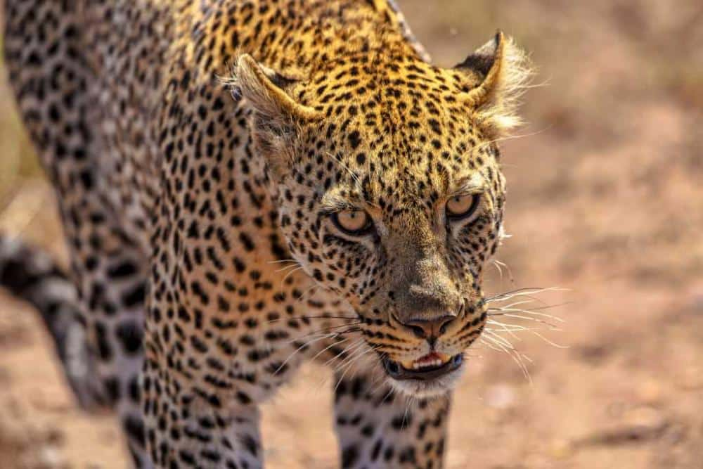 1 Tansania Serengeti Leopard www.foto-reise-welt.de