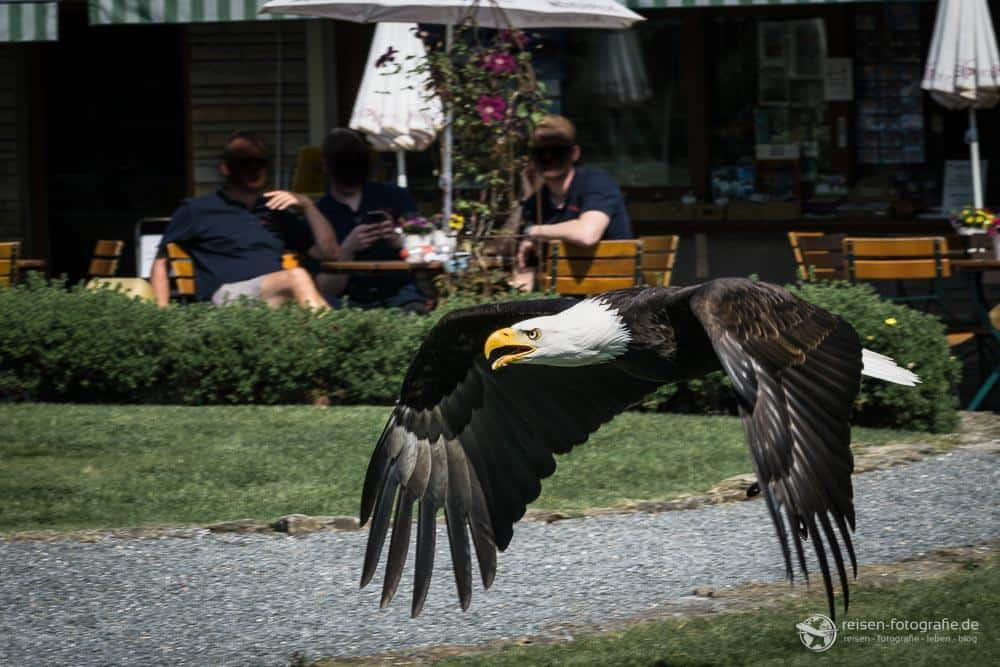 Adlerwarte Berlebeck Flugshow 24