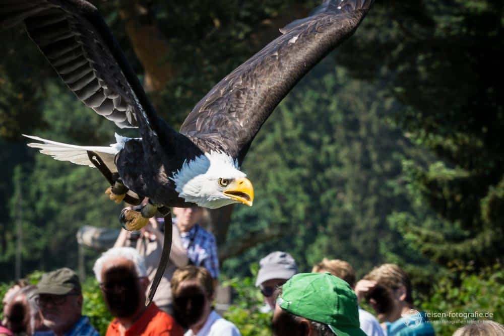 Adlerwarte Berlebeck Flugshow 26