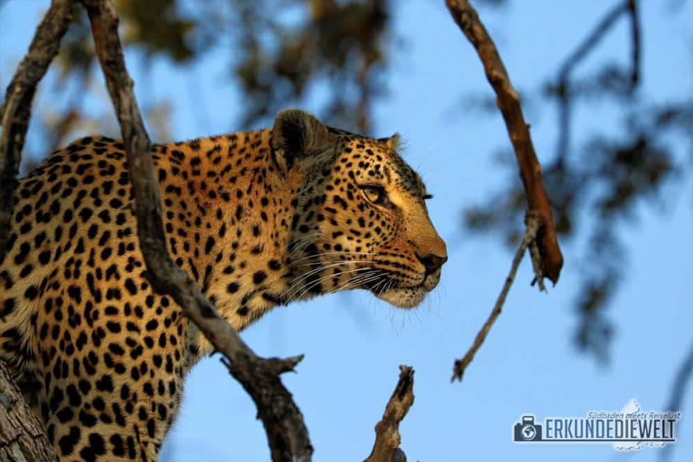 17SUE0065-suedafrika-leopard-1200