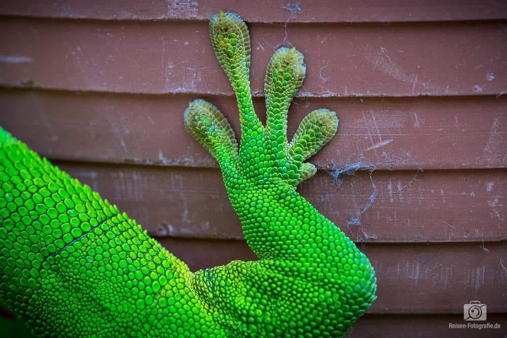 Madagaskar Gecko Füße