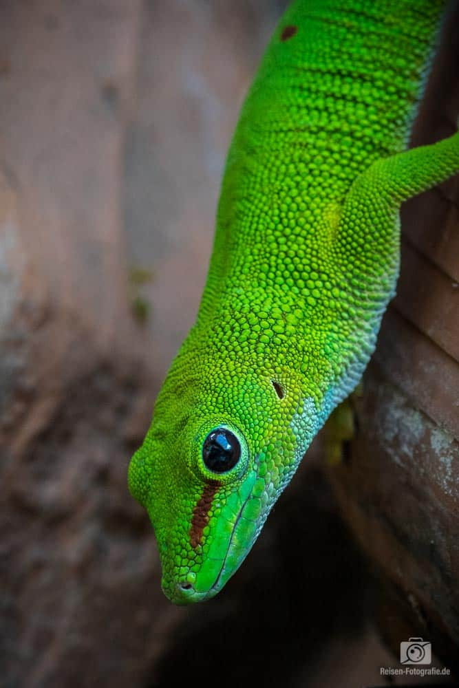 Madagaskar Gecko