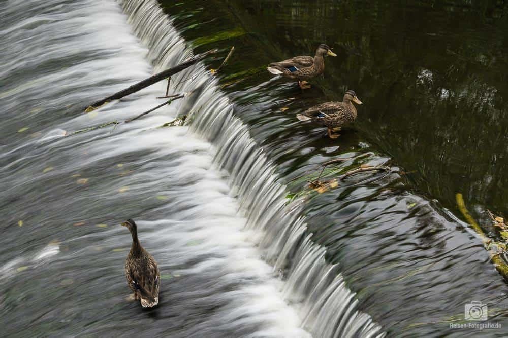 Standhafte Enten am Wasserfall