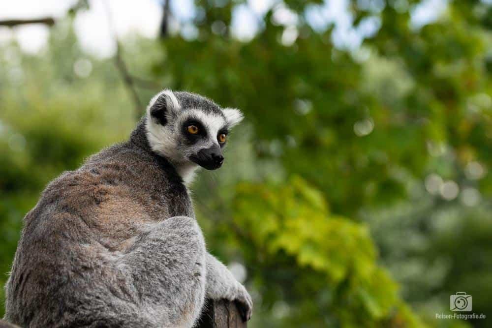 Lemur mit 50mm fotografiert