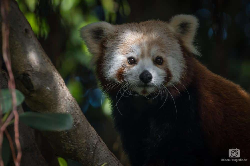 Loro Parque - Kleiner Roter Panda