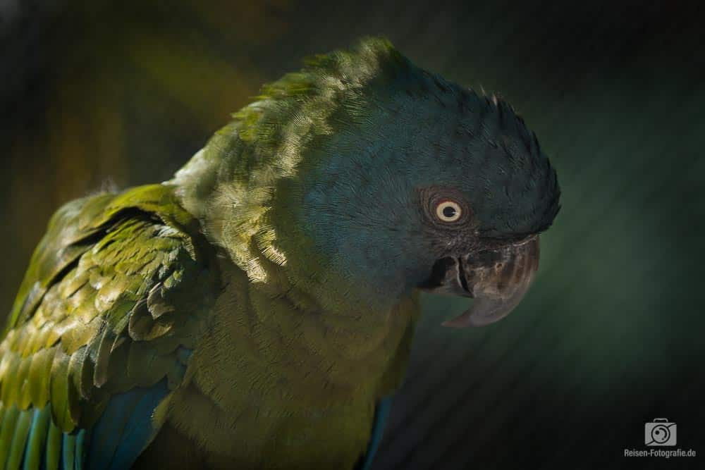 Loro Parque - Papagei