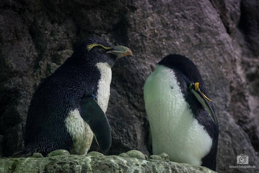 Loro Parque - Pinguine