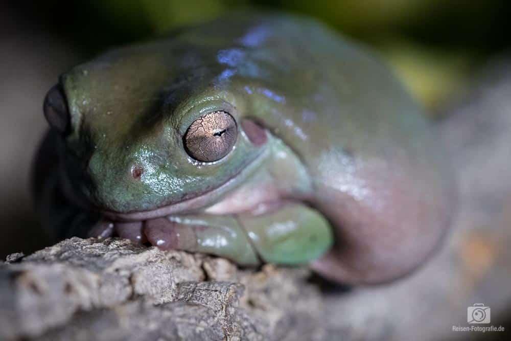 Korallenfinger-Laubfrosch - langsam grün verfärbt
