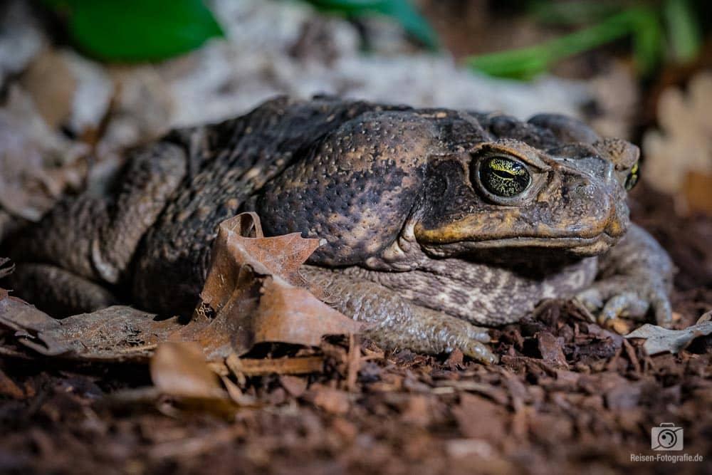 Agakröte