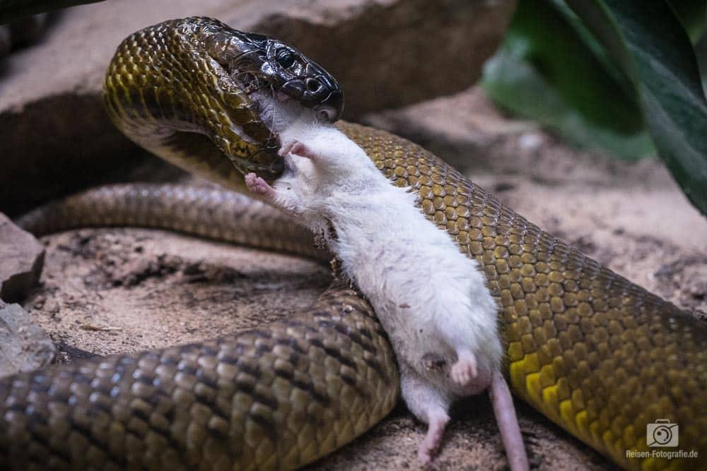 Schlange beim Fressen