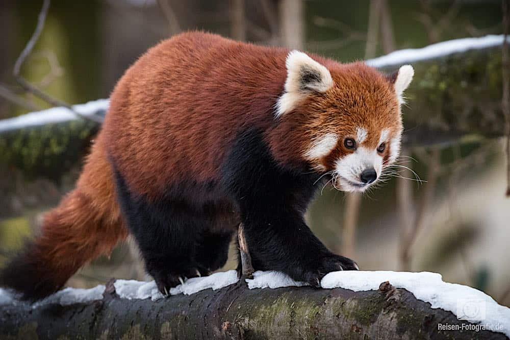 Kleiner Roter Panda mit Nachführ-AF