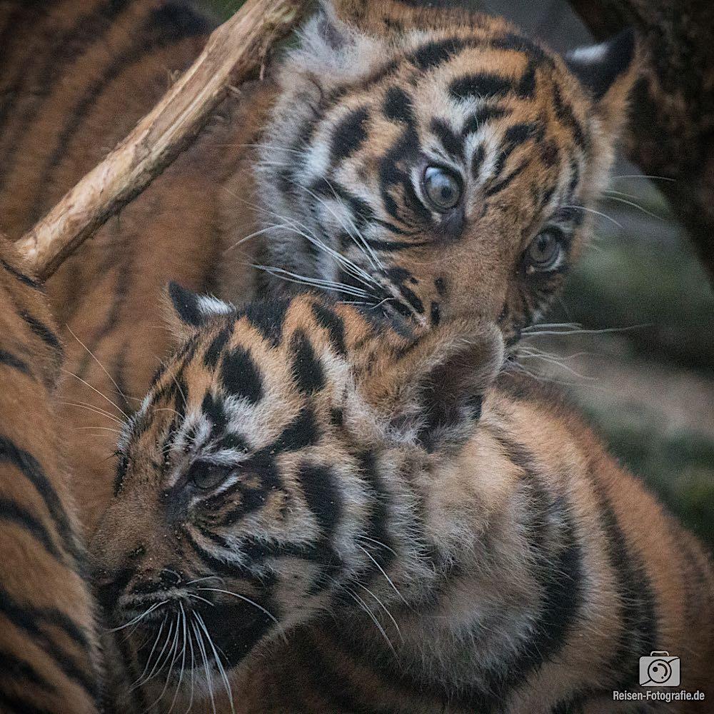 Tigerbabys Rheine 10