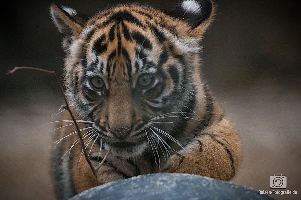 Tigerbabys Rheine 11