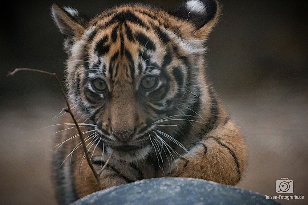 Tigerbabys im Naturzoo Rheine