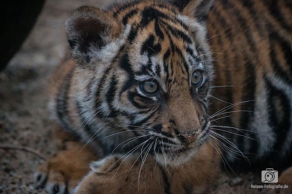 Tigerbabys Rheine 12