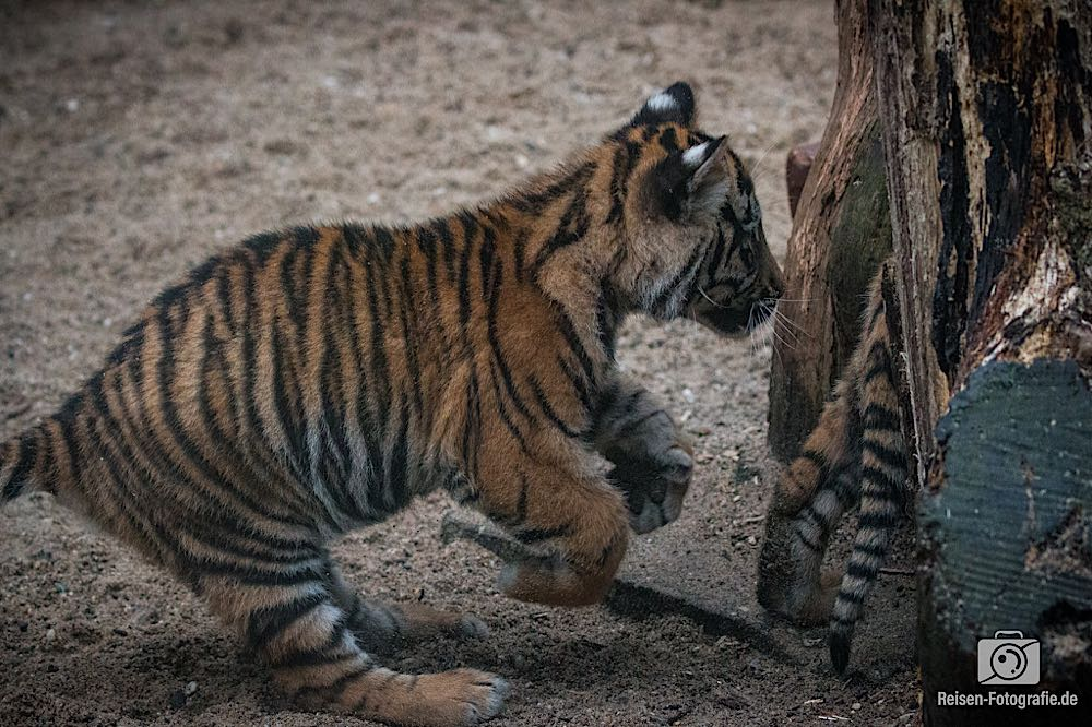 Tigerbabys Rheine 13