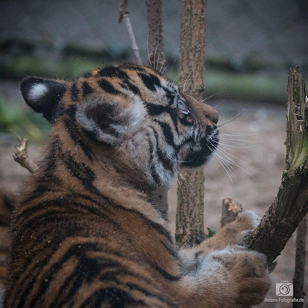 Tigerbabys Rheine 14