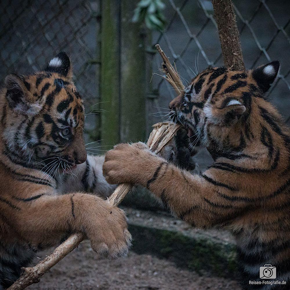 Tigerbabys Rheine 2