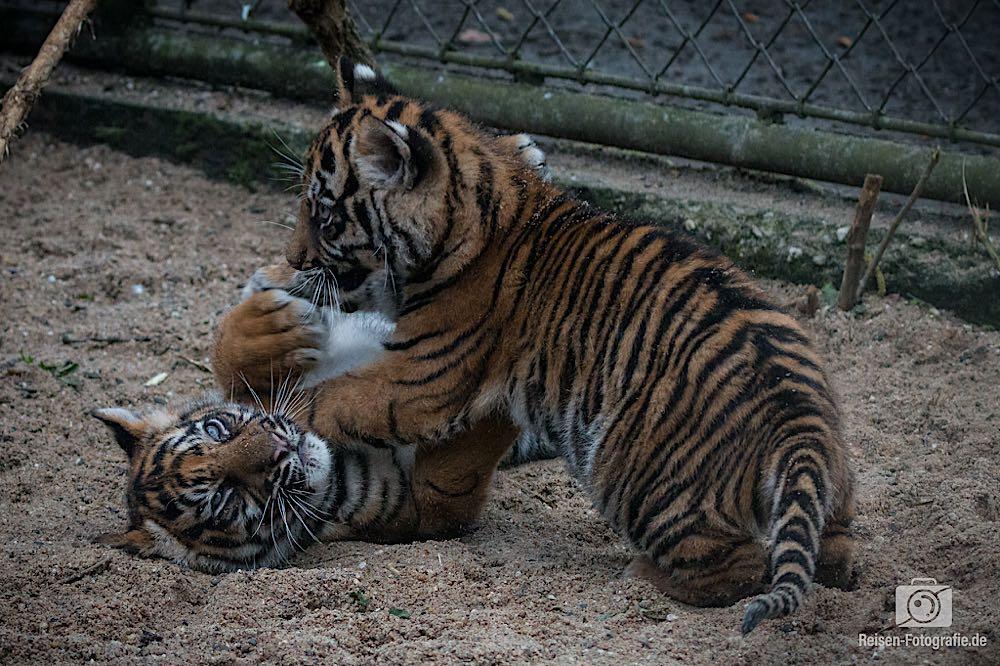 Tigerbabys Rheine 3