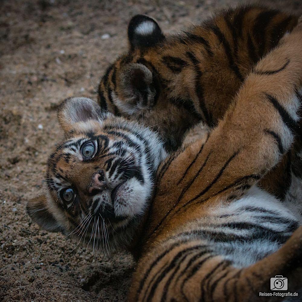 Tigerbabys Rheine 4