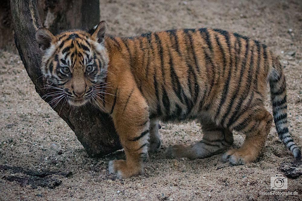 Tigerbabys Rheine 5