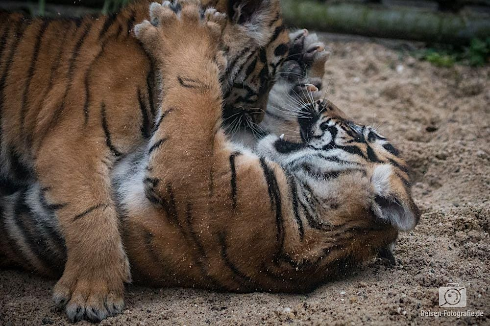 Tigerbabys Rheine 6