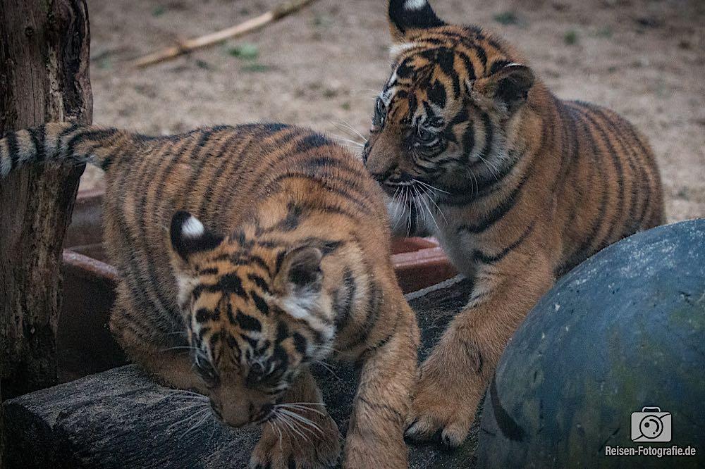 Tigerbabys Rheine 7