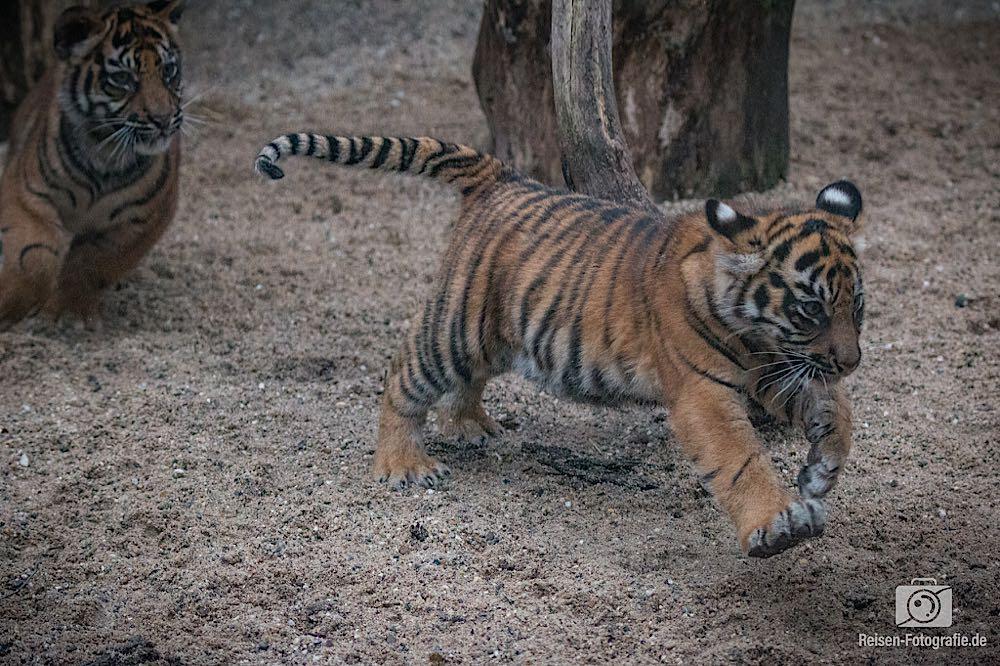 Tigerbabys Rheine 8
