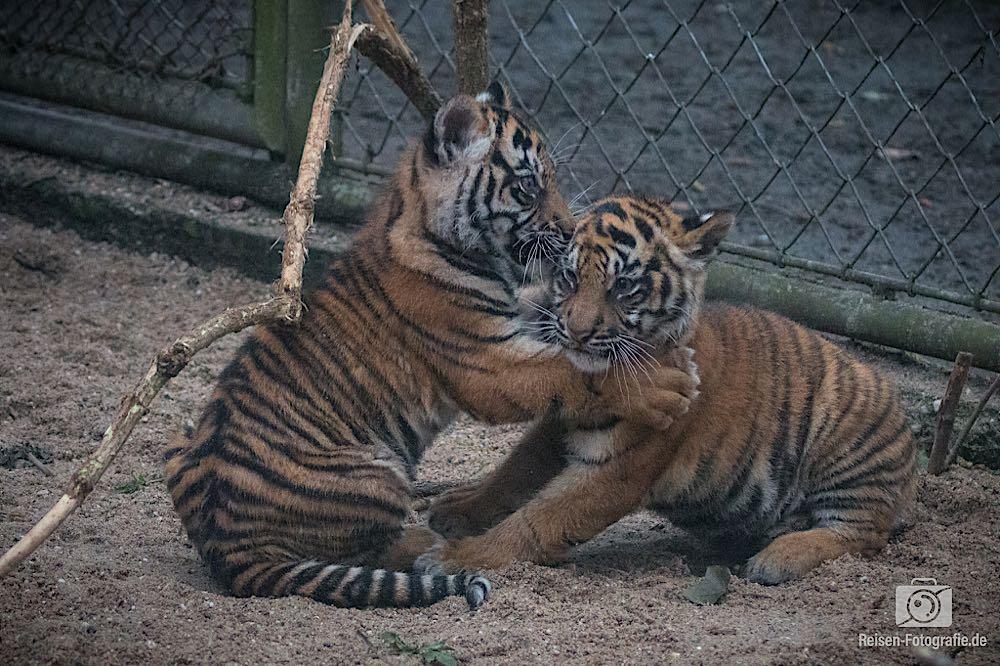 Tigerbabys Rheine 9