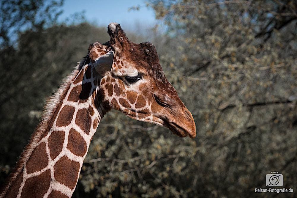 Giraffe Zoo Duisburg