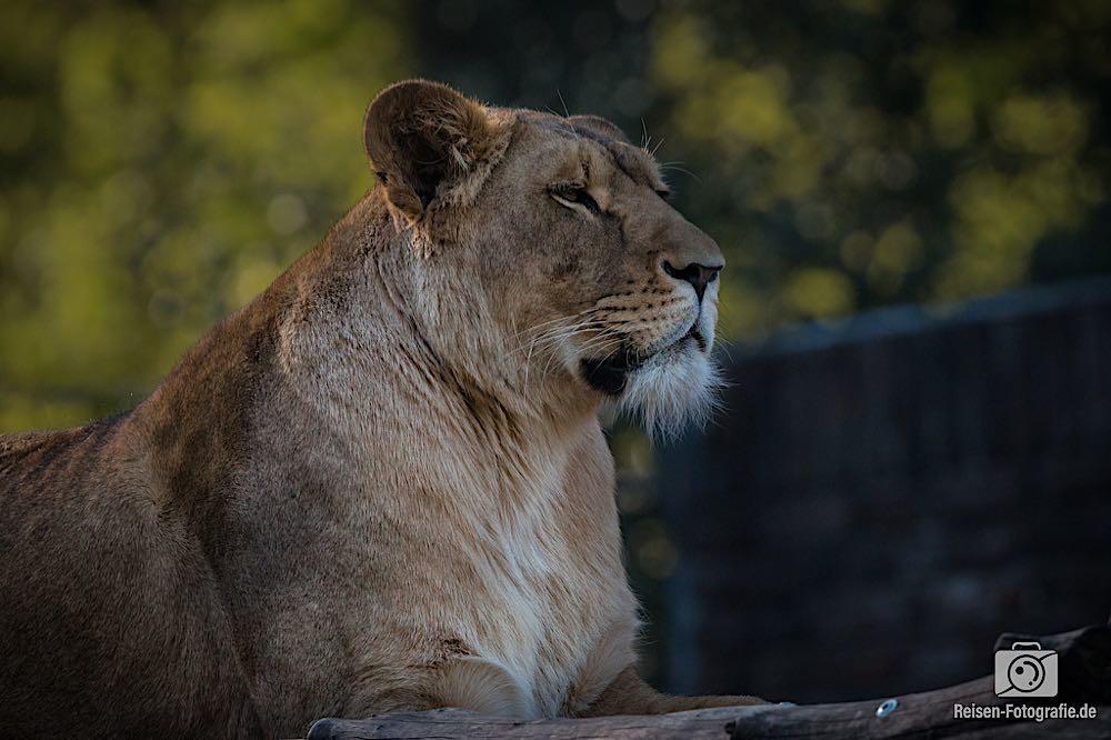 Löwin Zoo Duisburg