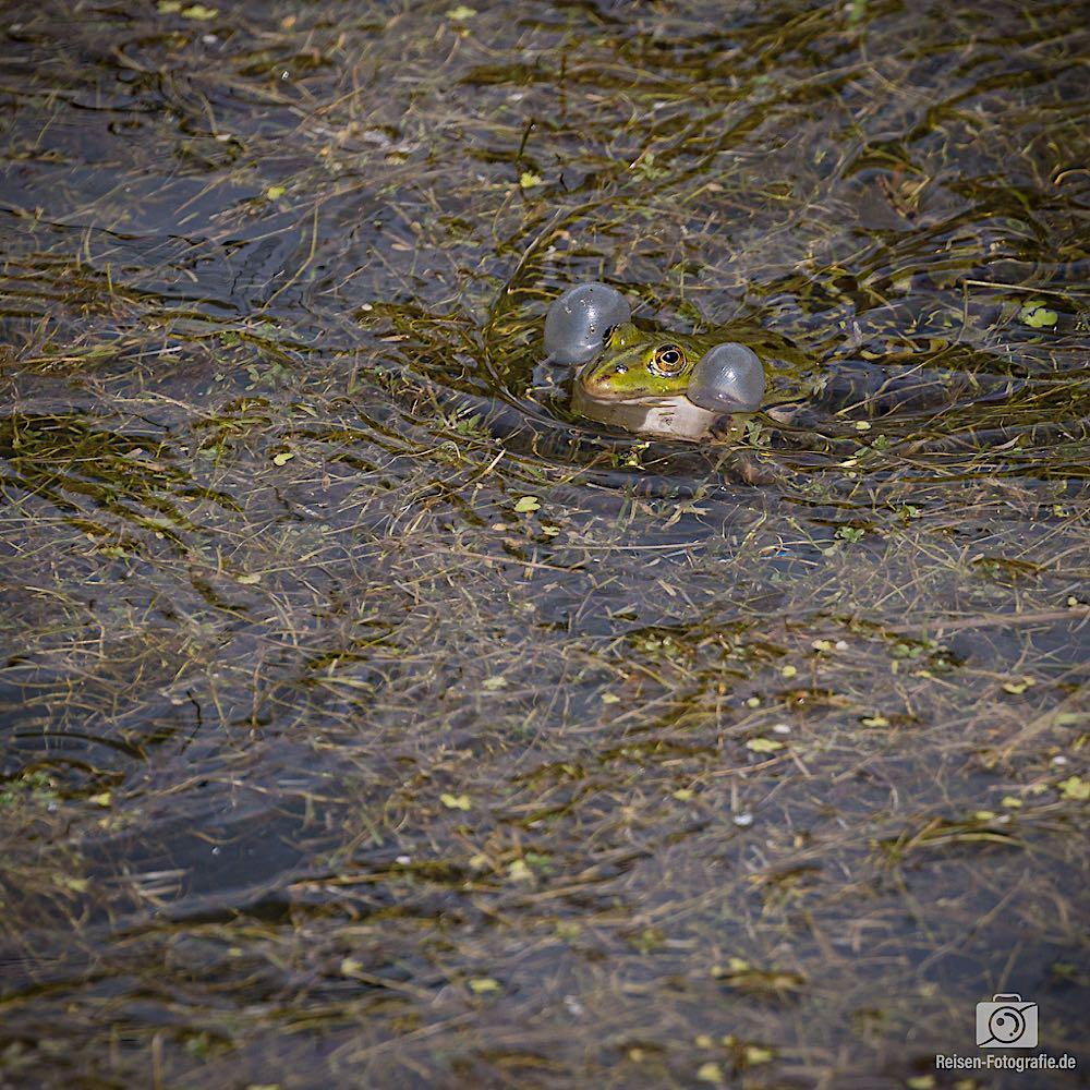 Frösche in den Wassergräben