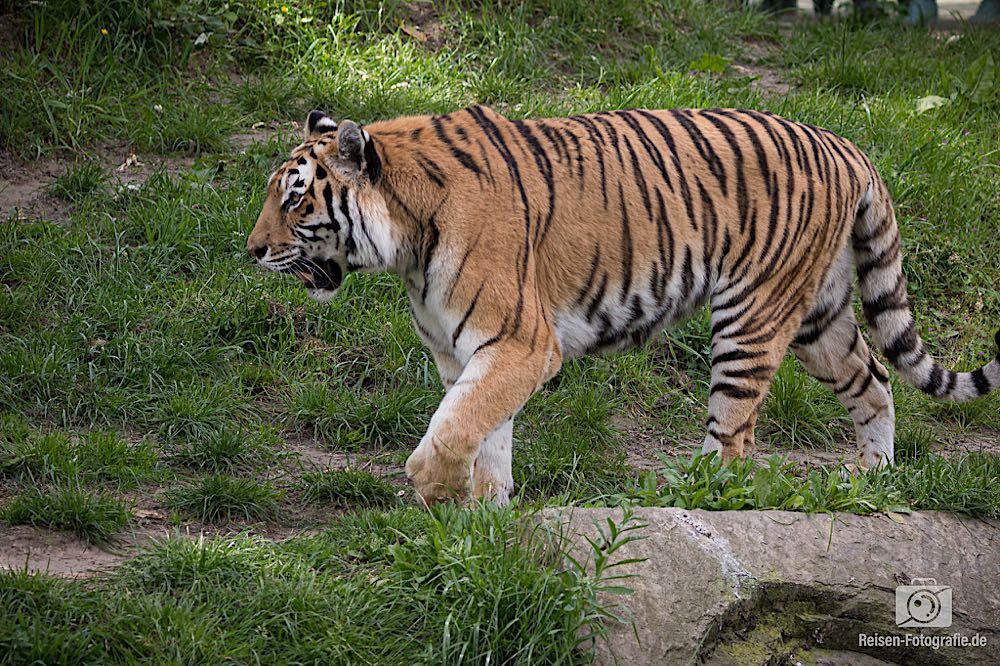 Asiatischer Tiger