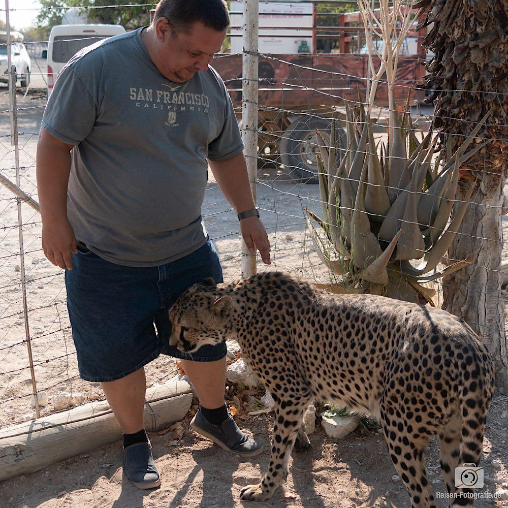Zahme Geparden