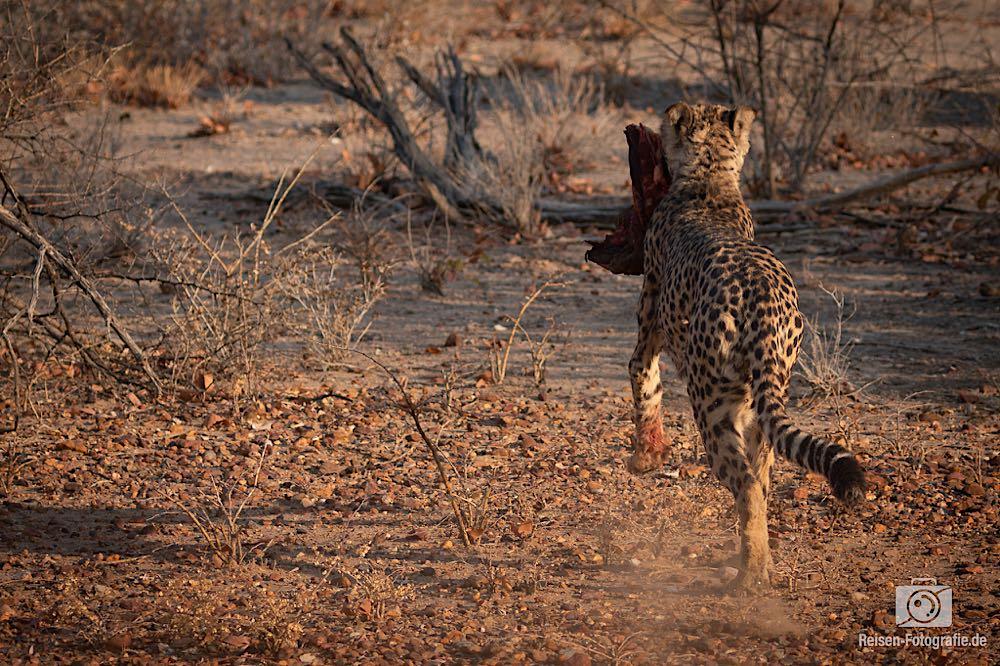 Fütterung wilde Geparden