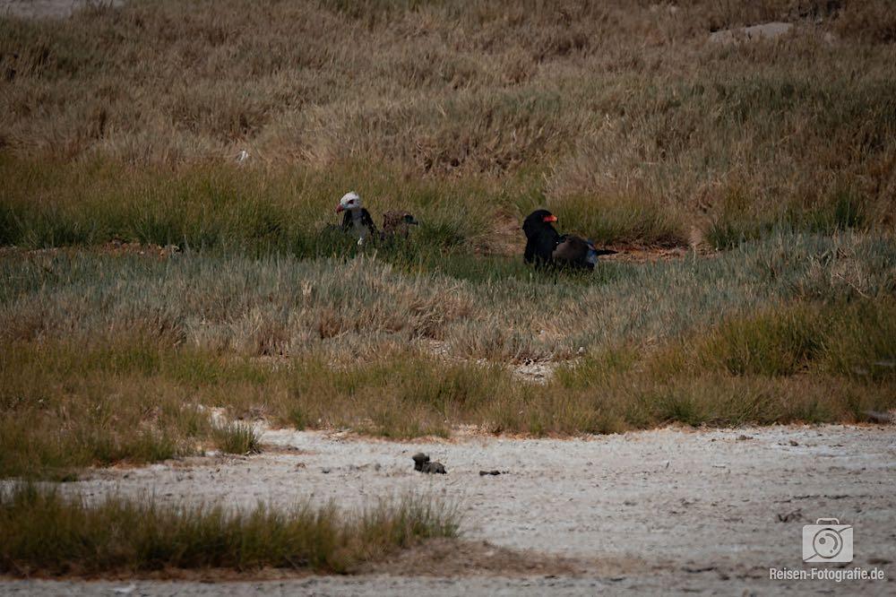 Gauckler, Wollkopfgeier und ein Zwergadler auf einem Foto - das nennt man wohl Glückstreffer