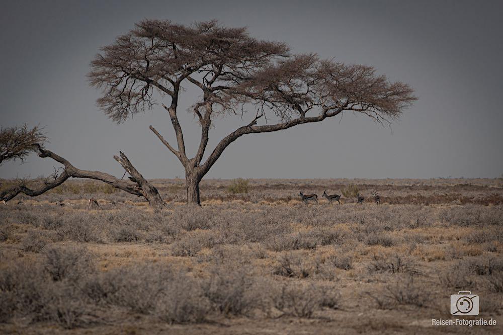 Baum in der Steppe