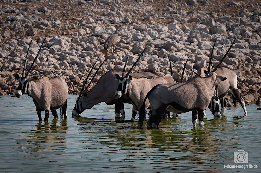 Neben den Elefanten standen ein paar Oryxe im Wasser