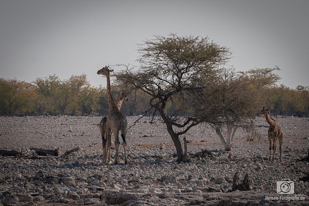Giraffen Familie beim Abendessen