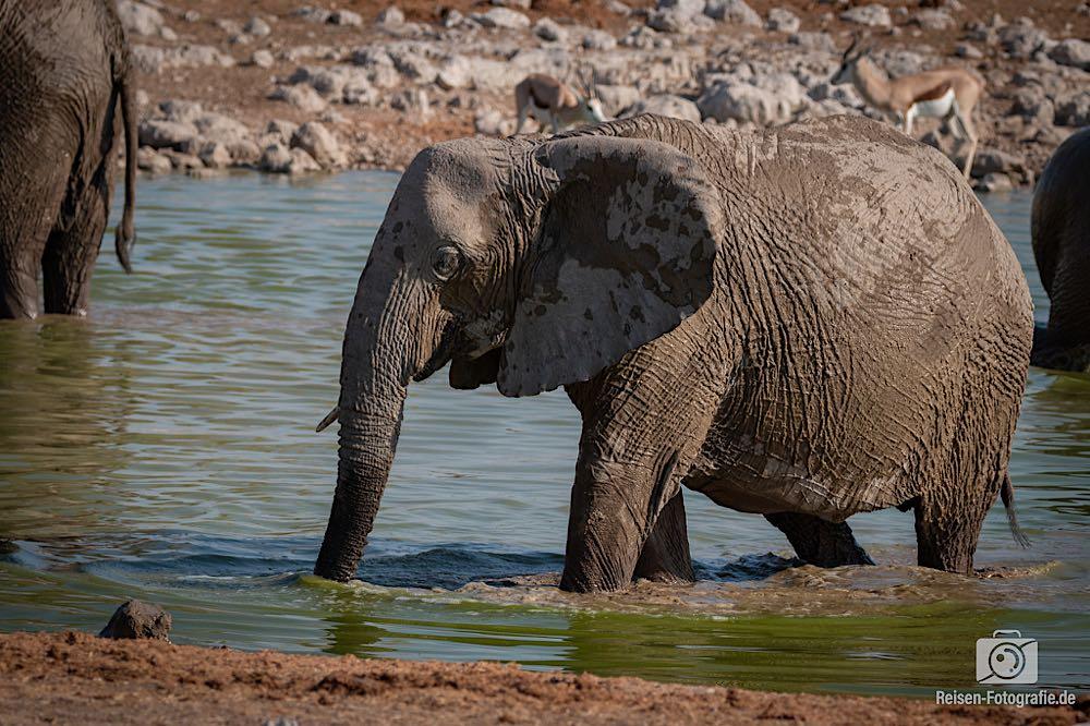 Noch ein halbstarker Elefant