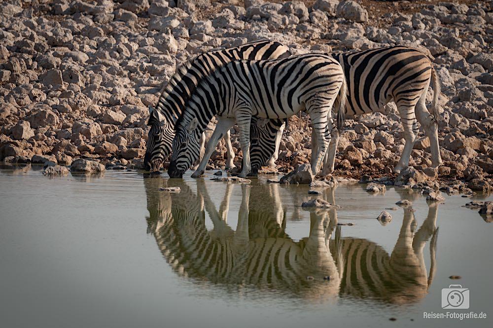 Zebras - die sich ans Wasser trauten, nachdem die Elefanten weg waren.